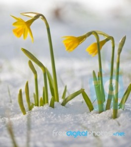 daffodil-blooming-through-the-snow-100149378